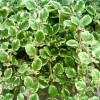 Tamjan spada u najljekovitije biljke svijeta